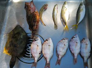 流しのシンクの中に並べられた魚たち。一番大きいのがカワハギです。その次の大き目の魚がカサゴ、通称ガシラといいます。そして小魚が8匹ずらりと並んでいます。