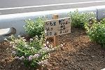 木花小学校の花の植栽のその後_f0105533_0402555.jpg