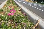 木花小学校の花の植栽のその後_f0105533_0422798.jpg