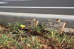 木花小学校の花の植栽のその後_f0105533_043209.jpg