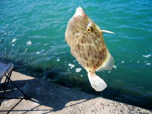 コバルトブルーの海の色に映えるカワハギ。釣られて無念?そうに目を剥いています。ちょっと大き目のカワハギです。