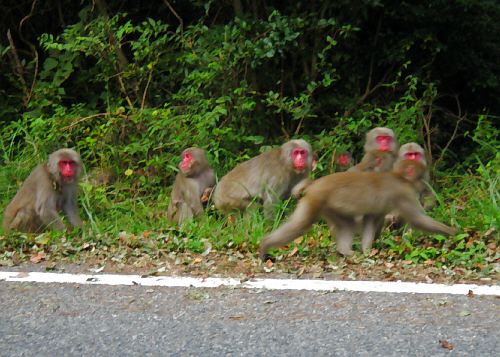 道路に群れて出てくる猿たち。顔が真っ赤なお猿たちです。この島の猿の特徴なのでしょうか、本土の猿より一段顔が赤いですね。