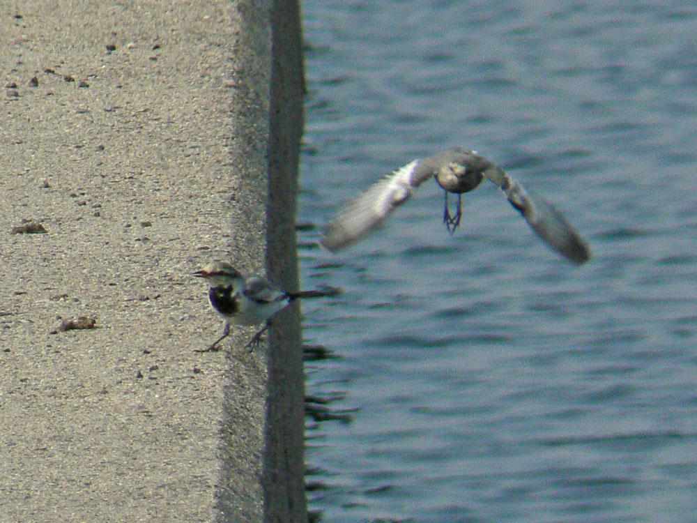 追い駆けっこをするハクセキレイ若鳥_e0088233_026073.jpg