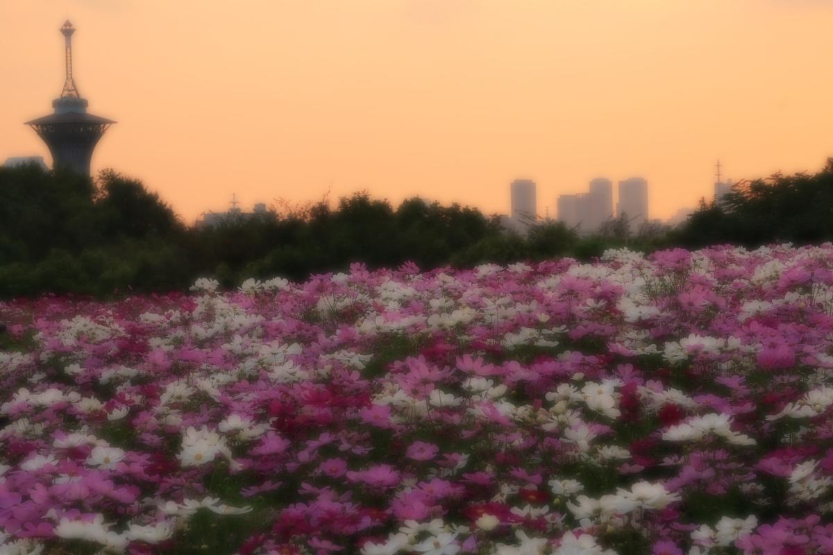 秋桜 鶴見緑地_f0021869_2035910.jpg