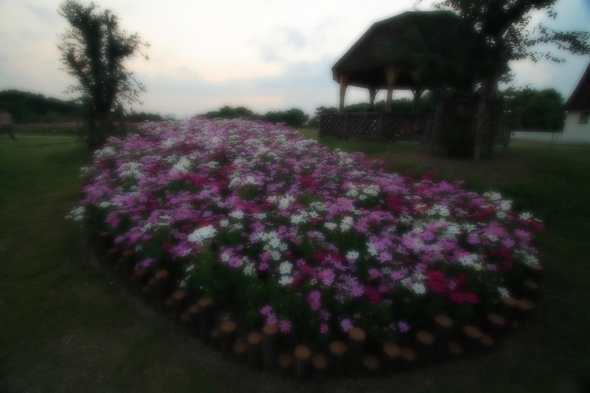 秋桜 鶴見緑地_f0021869_2044171.jpg