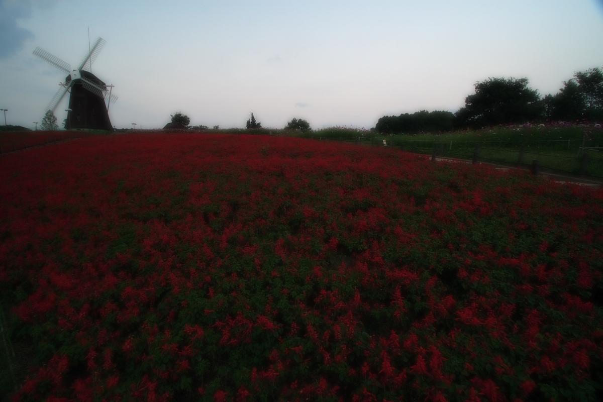 秋桜 鶴見緑地_f0021869_205114.jpg
