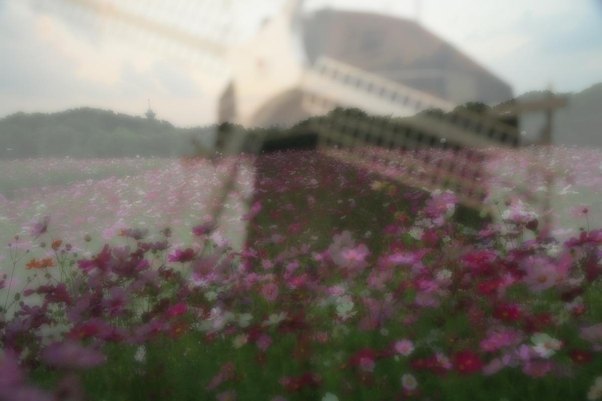 秋桜 鶴見緑地_f0021869_205275.jpg