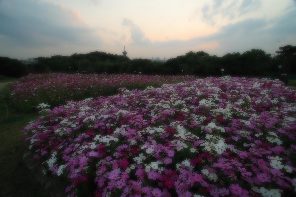 秋桜 鶴見緑地_f0021869_2055477.jpg