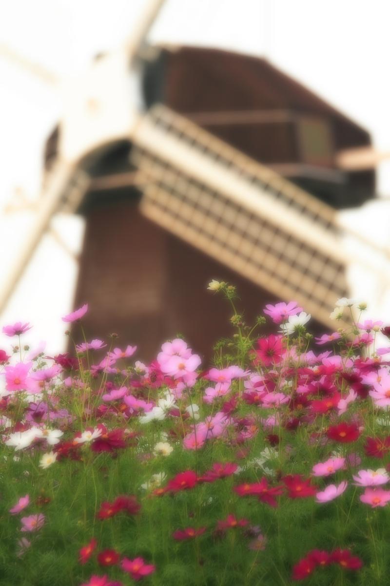 秋桜 鶴見緑地_f0021869_2064664.jpg
