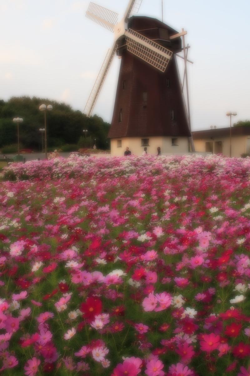 秋桜 鶴見緑地_f0021869_207148.jpg
