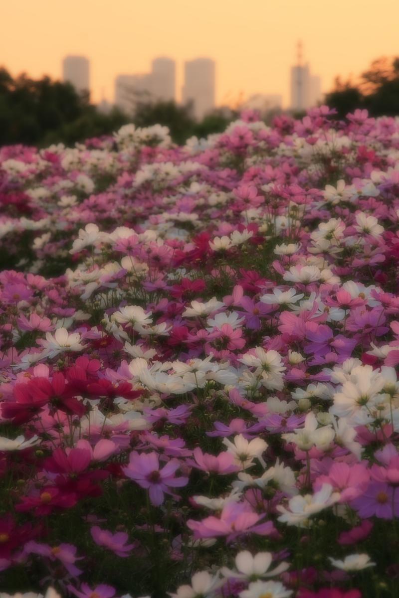 秋桜 鶴見緑地_f0021869_2073988.jpg