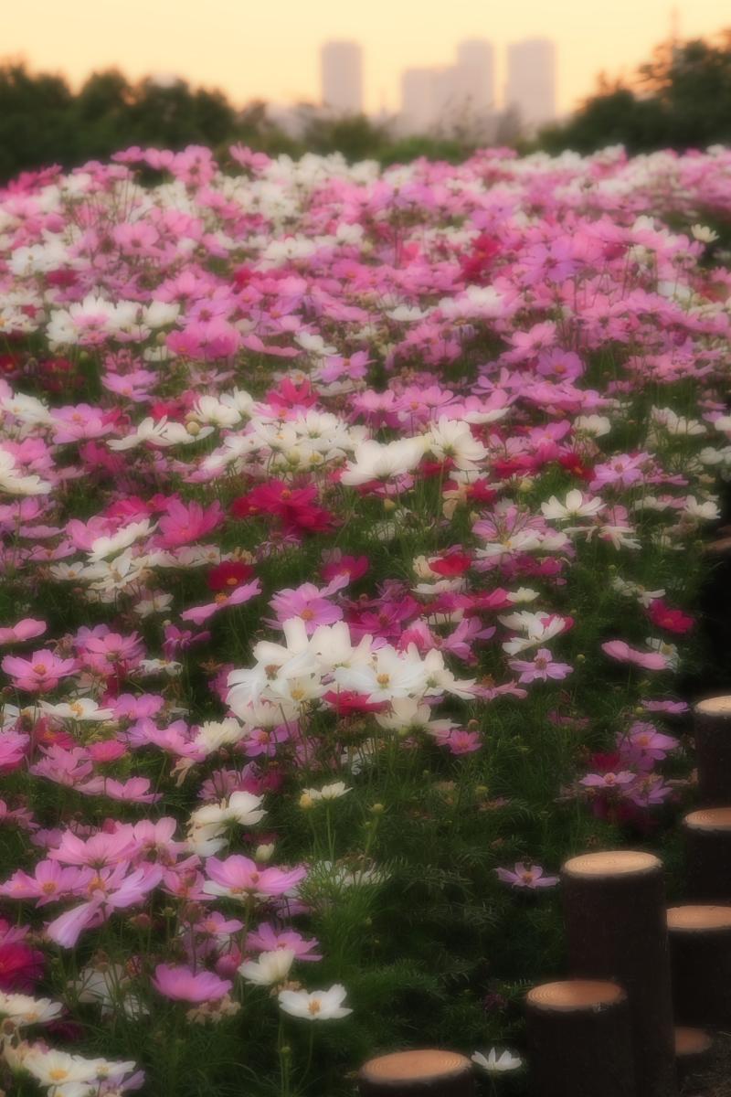 秋桜 鶴見緑地_f0021869_2075771.jpg