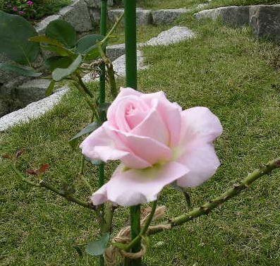 2006年10月18日(水)愛ちゃんと薔薇_f0060461_21112672.jpg
