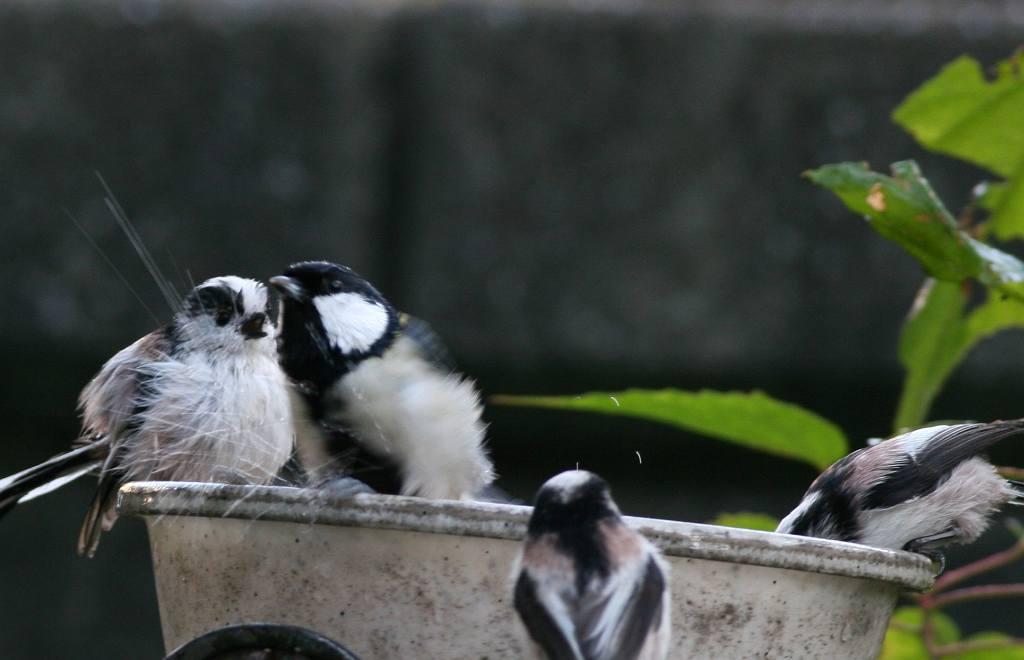 庭に来たエナガたち_a0052080_20422454.jpg