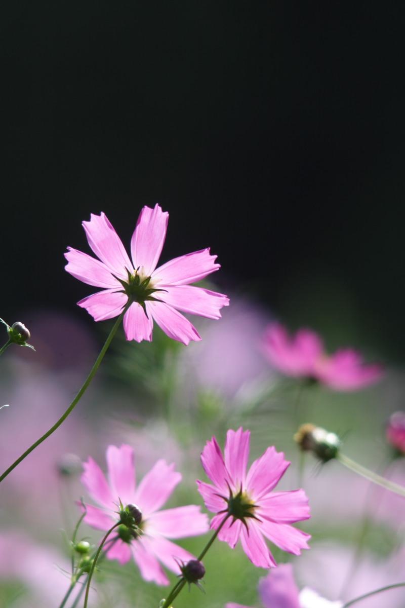 秋桜 万博公園 1_f0021869_22182991.jpg