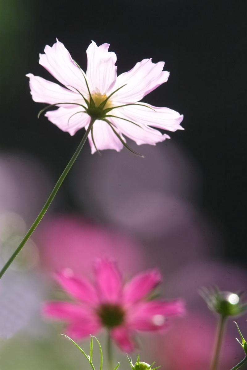 秋桜 万博公園 1_f0021869_22191515.jpg
