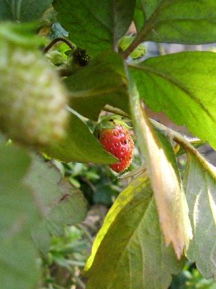 赤い実と白いバラ_f0007106_21371629.jpg