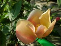 赤い実と白いバラ_f0007106_21512572.jpg