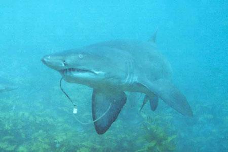 サメの「シロワニ」絶滅の危機_b0052564_1233039.jpg