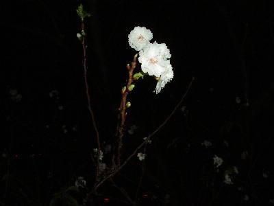 桜と真鯛_a0077071_981551.jpg