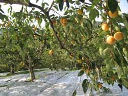 柿の色着きを助ける工夫。_f0018099_19391334.jpg