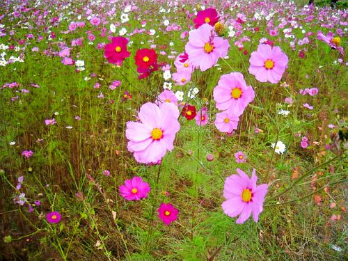 薄いピンクと濃いピンク、グラデーションのような花々のアップ画像です。緑に映えて綺麗です。