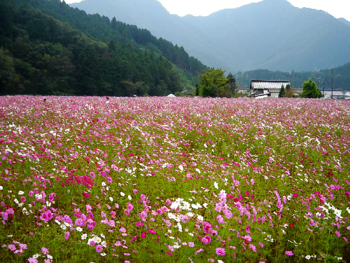 コスモスの中に人の頭だけが見えています。ずーっと続くコスモス畑。遠くに霞んだ山間が見えます。山の濃い緑と花の色の対比が綺麗です。
