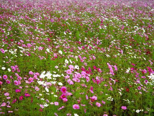 コスモスだけの写真。白から濃いピンクまでのグラデーション。これで終盤なら最盛期はさぞや綺麗に違いないですね。