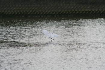 """室見川にて""""白鷺の親子""""発見♪_d0082356_16474355.jpg"""