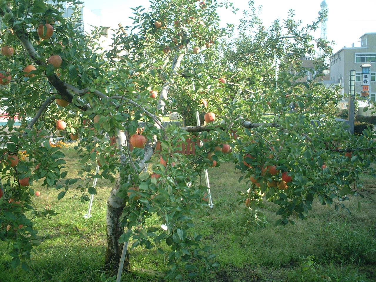 たわわに実ったりんごの並木_b0103889_2358662.jpg