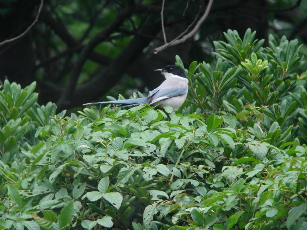 K臨海公園 オナガ_a0052080_21252597.jpg