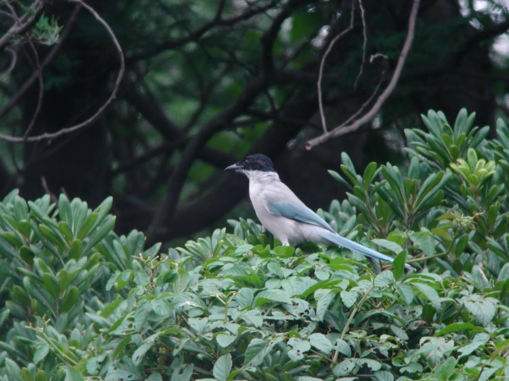 K臨海公園 オナガ_a0052080_21255031.jpg