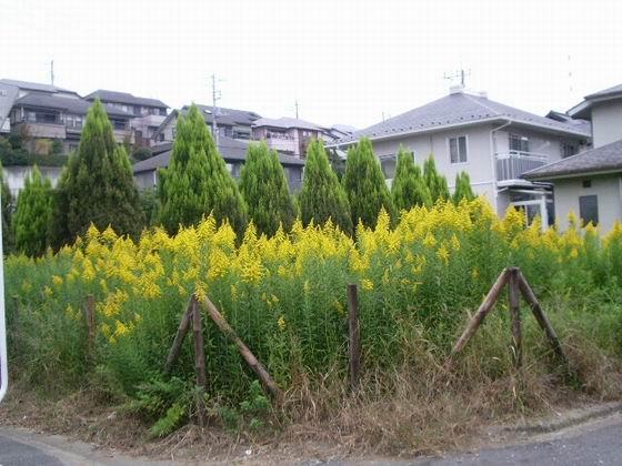 宅地占領・【背高泡立草】の花。。。_e0025300_1444950.jpg