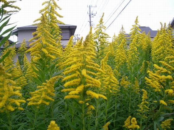 宅地占領・【背高泡立草】の花。。。_e0025300_1475871.jpg