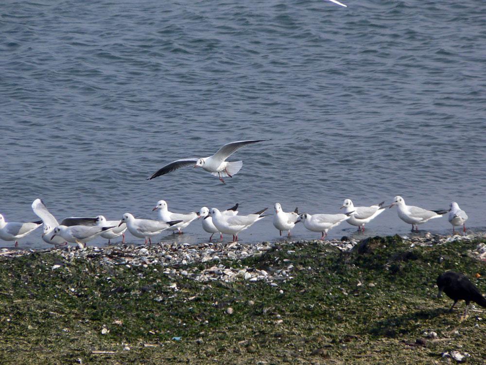 波打ち際で餌を捕る ユリカモメ_e0088233_21434712.jpg