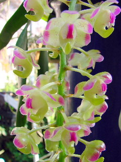 Aerides lawrenceae 'Candy Candy'_d0007501_12283255.jpg
