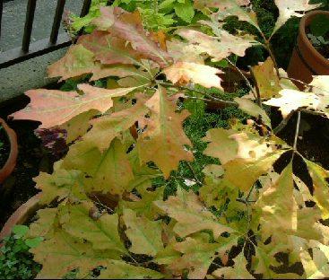 オークリーフ(秋のmy garden)_f0049672_1245533.jpg