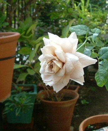 オークリーフ(秋のmy garden)_f0049672_12462343.jpg