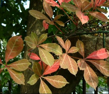 オークリーフ(秋のmy garden)_f0049672_12481438.jpg