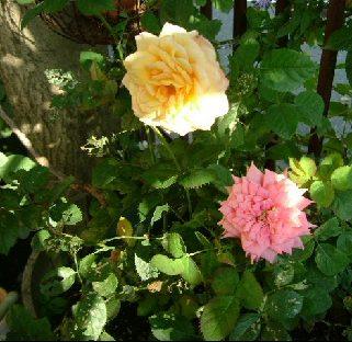 オークリーフ(秋のmy garden)_f0049672_12484169.jpg