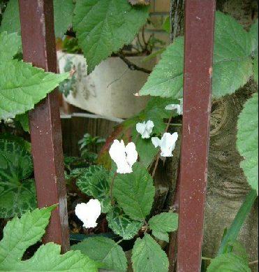オークリーフ(秋のmy garden)_f0049672_12485895.jpg
