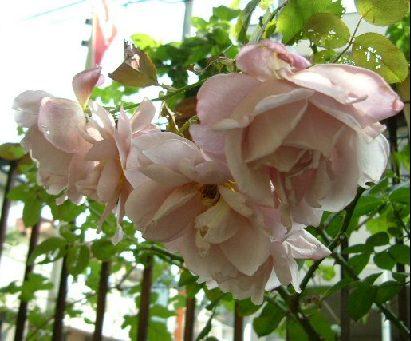 オークリーフ(秋のmy garden)_f0049672_12491186.jpg