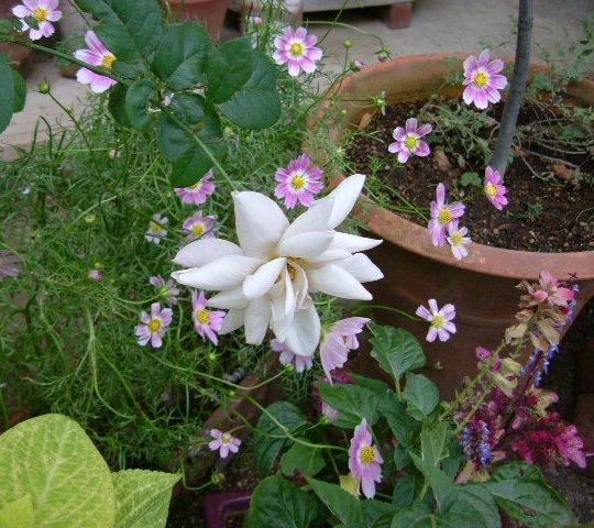 オークリーフ(秋のmy garden)_f0049672_12504331.jpg