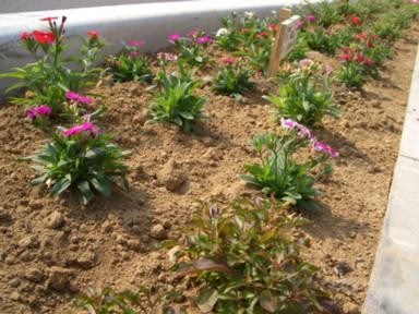 木花小学校の花の植栽のその後2_f0105533_2394248.jpg