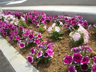 木花小学校の花の植栽のその後2_f0105533_240722.jpg