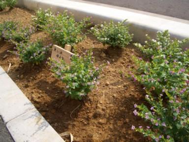木花小学校の花の植栽のその後2_f0105533_2424830.jpg