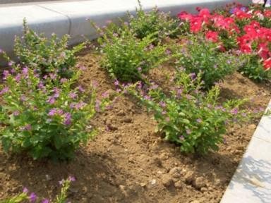 木花小学校の花の植栽のその後2_f0105533_2472514.jpg