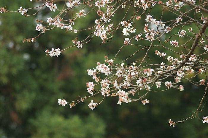 冬桜_e0071967_1943785.jpg