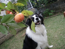 柿もらったよ~!_b0003270_2156158.jpg