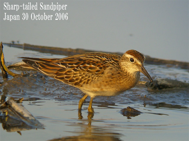 ウズラシギ Sharp-tailed Sandpiper_c0071489_8585155.jpg